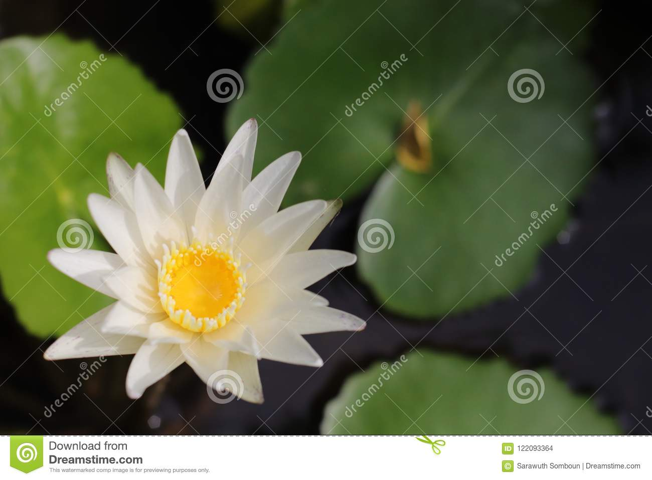 White lotus flower in water pot stock photo image of statue beatiful white lotus flower in water pot the color of the lotus certainly affects its general meaning as well the white lotus flower and pink lotus flower izmirmasajfo