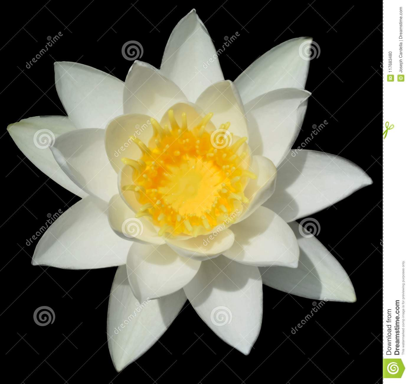White Lotus Flower With Yellow Center Stock Photo Image Of Bloom