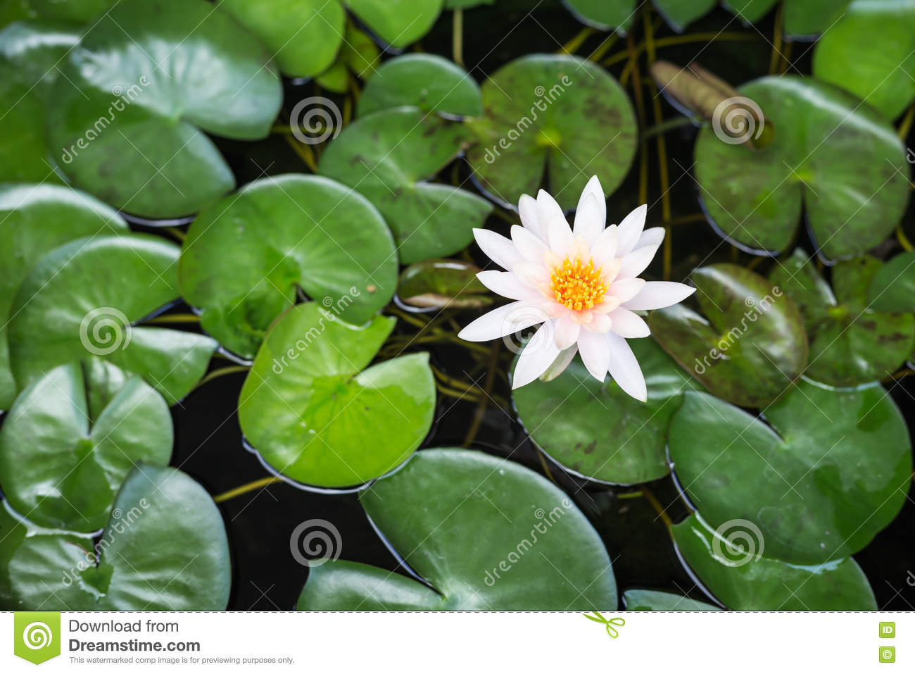 White lotus with green leaf in water pond top view stock photo white lotus with green leaf in water pond top view izmirmasajfo