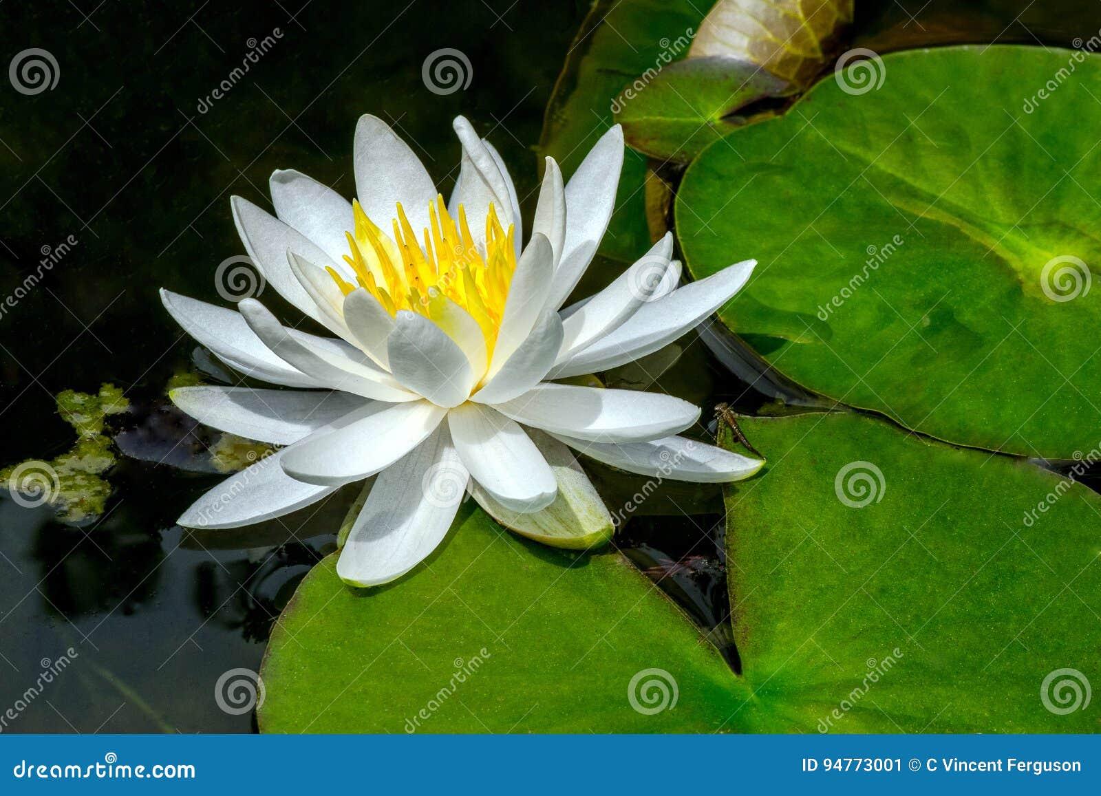 White Lotus Green Lily Pads Stock Image Image Of Waterlily Petal