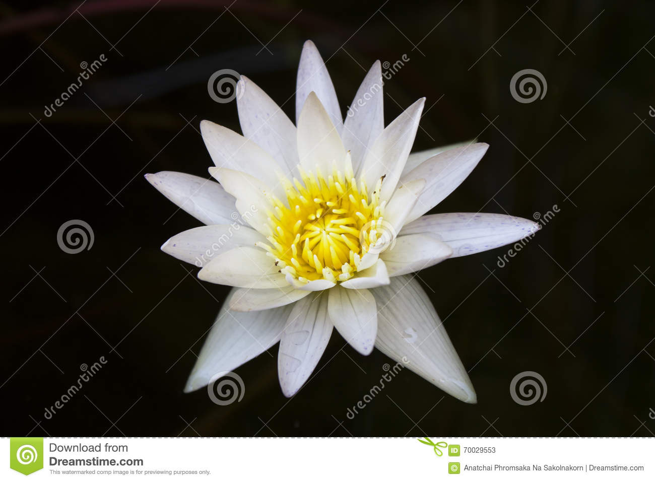 White Lotus Stock Image Image Of Isolated Beautiful 70029553