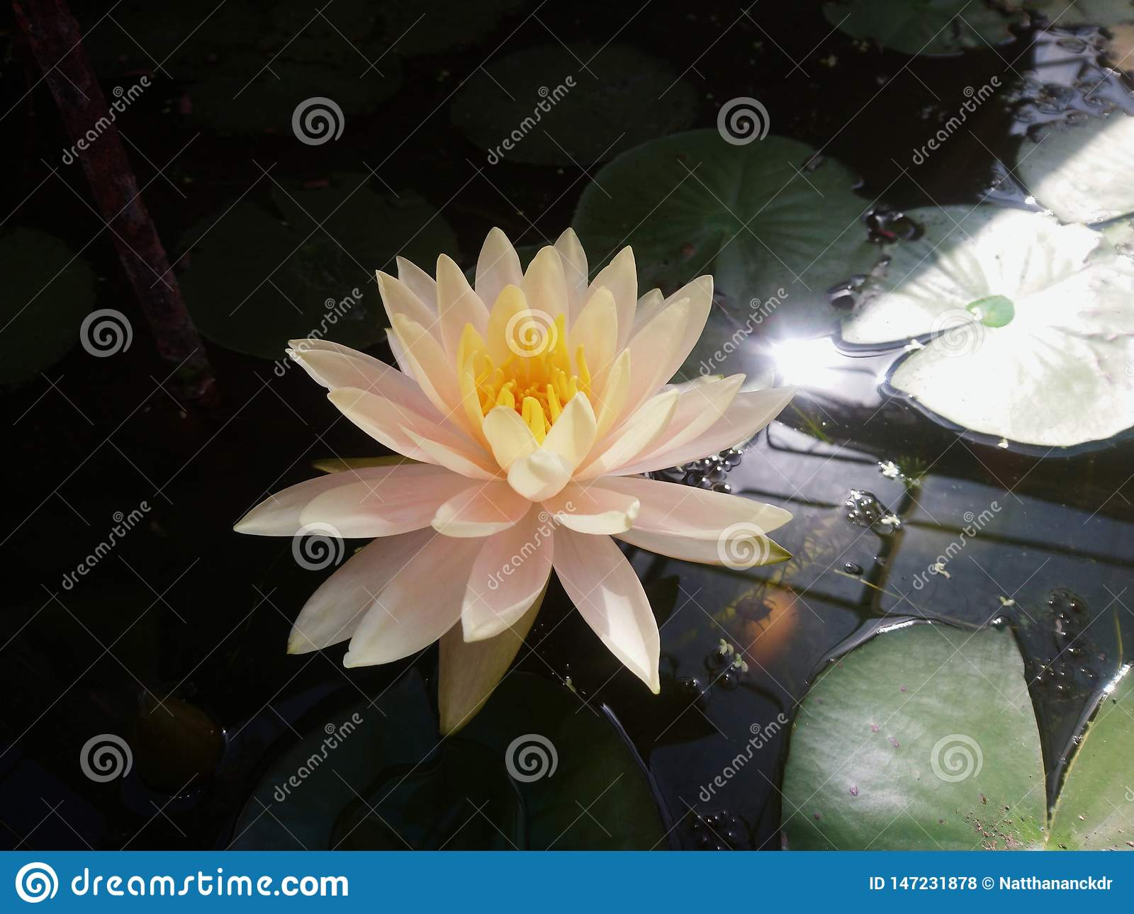 The white lotus in the pond with warm light