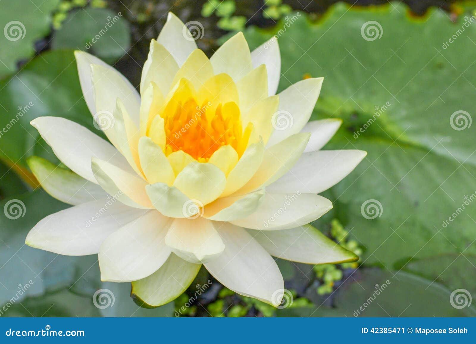 White lotus thai flower stock image image of blooming 42385471 white lotus thai flower izmirmasajfo Choice Image