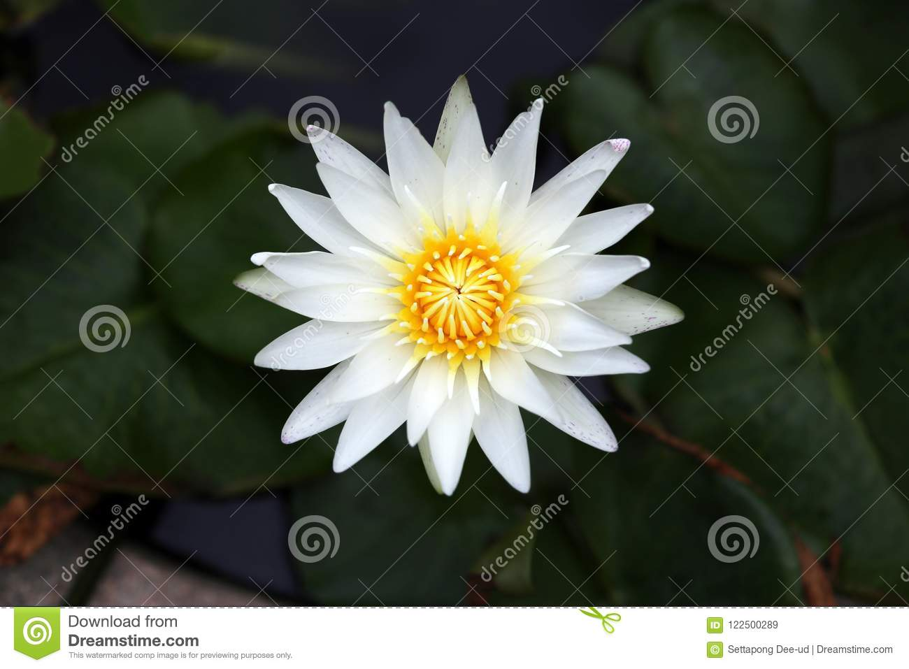 White Lotus Water Lily Blooming In The Pond Stock Image Image Of