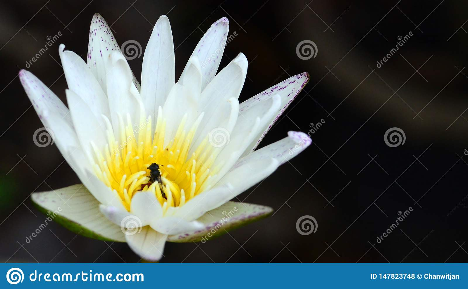 White lotus waterlily with bee hiding inside