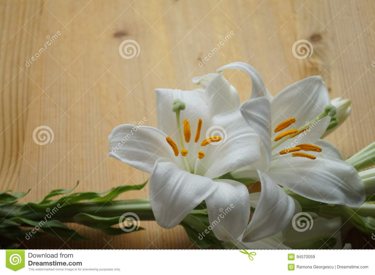 White madonna lily flower stock image image of botany 94570059 white madonna lily flower botany delicate royalty free stock photo download white madonna lily flower izmirmasajfo