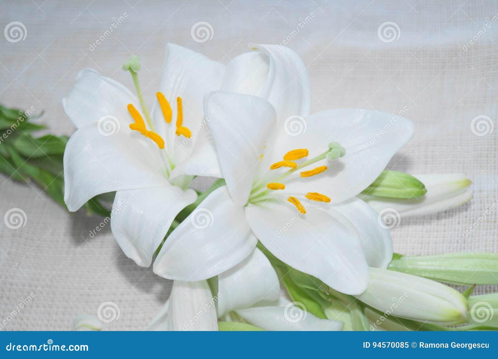 White madonna lily flower stock image image of elegant 94570085 download comp izmirmasajfo