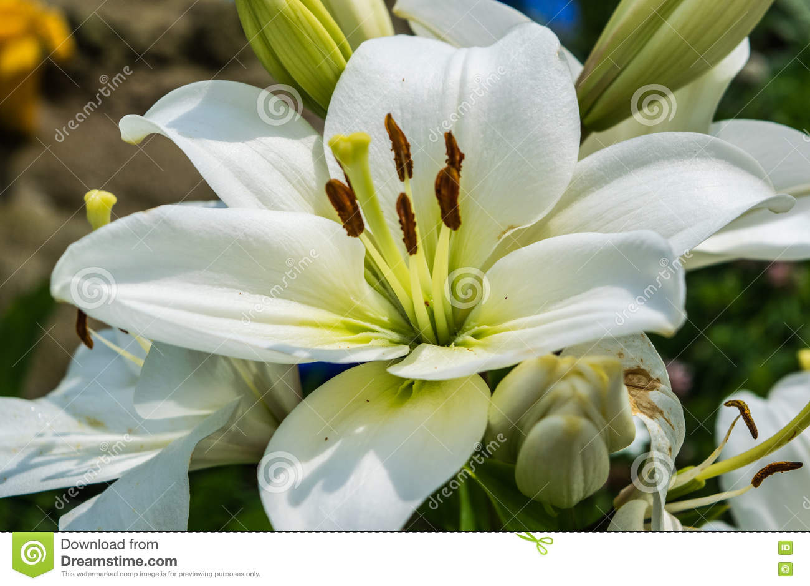 White madonna lily stock photo image of beautiful lily 77042562 royalty free stock photo izmirmasajfo