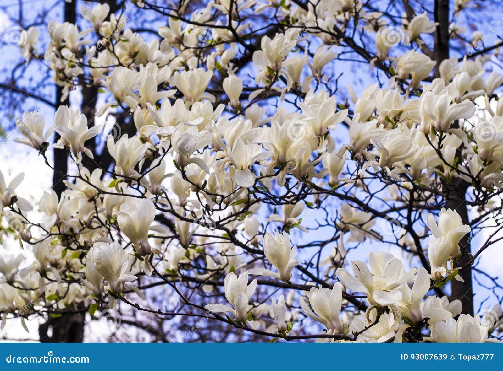 White Magnolia Creamy Blossom Of White Magnolia Tree Beautiful