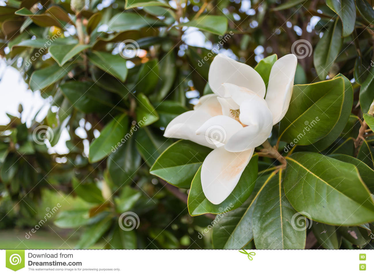 White Magnolia Flower Circled By The Green Leaves Stock Photo