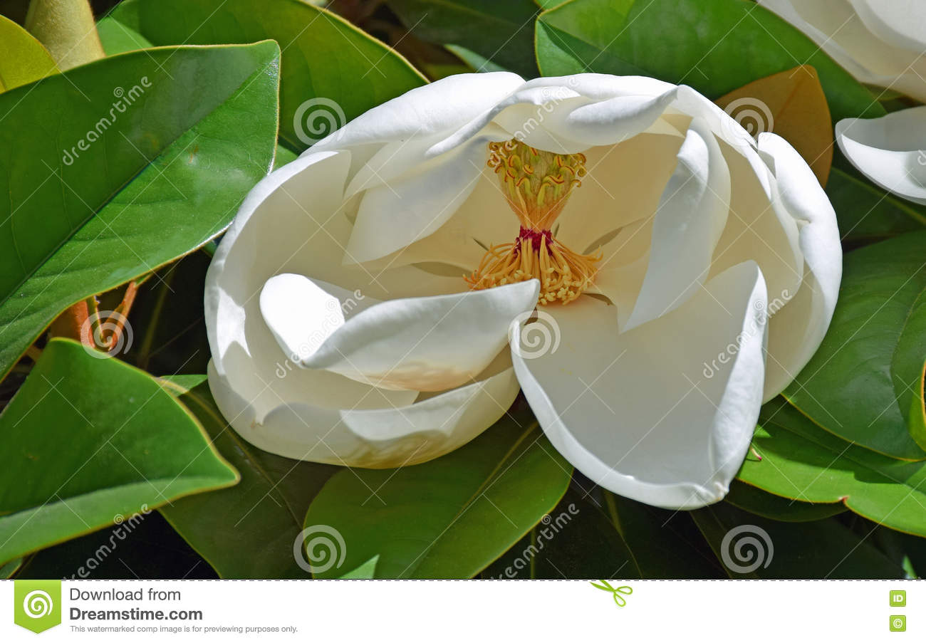 White Magnolia Flower In Early Bloom Stock Photo Image Of Woods