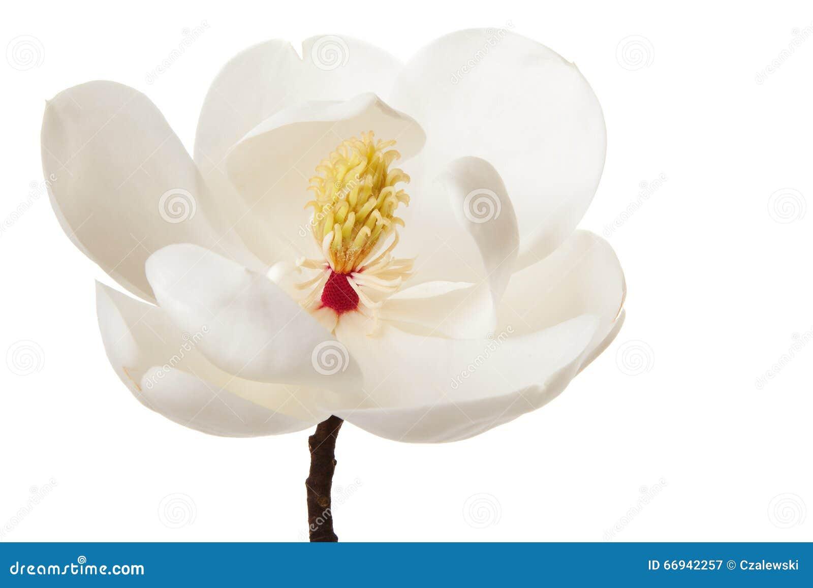 White Magnolia Flower Magnolias Floral Tree Stock Image Image Of