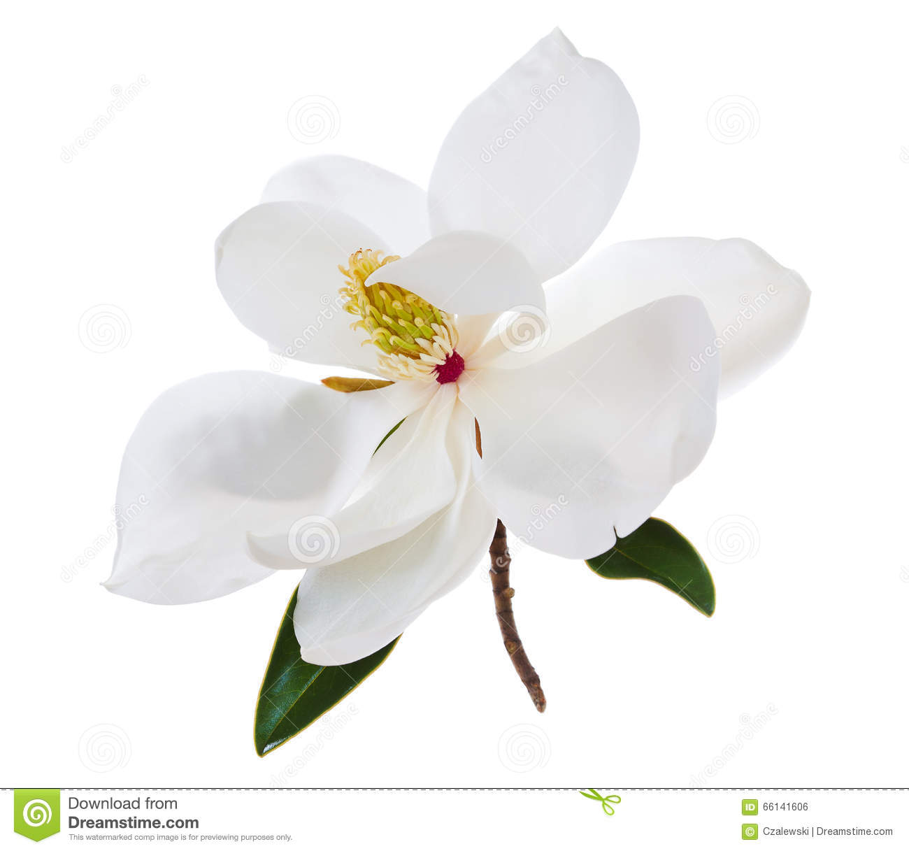 White magnolia flower magnolias flower stock photo image of download white magnolia flower magnolias flower stock photo image of flowers white 66141606 mightylinksfo