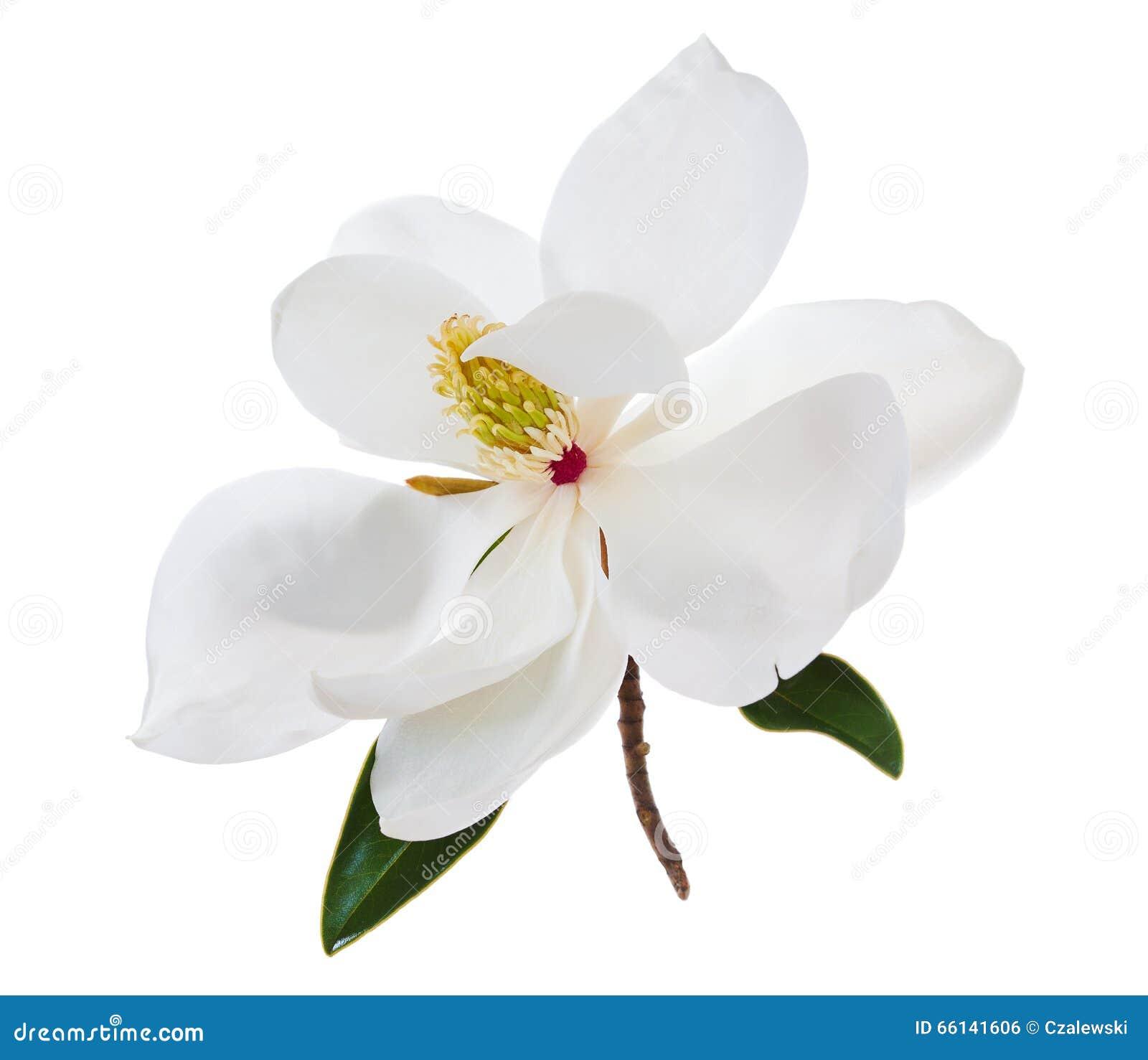 White magnolia flower magnolias flower stock photo image of white magnolia flower magnolias flower mightylinksfo