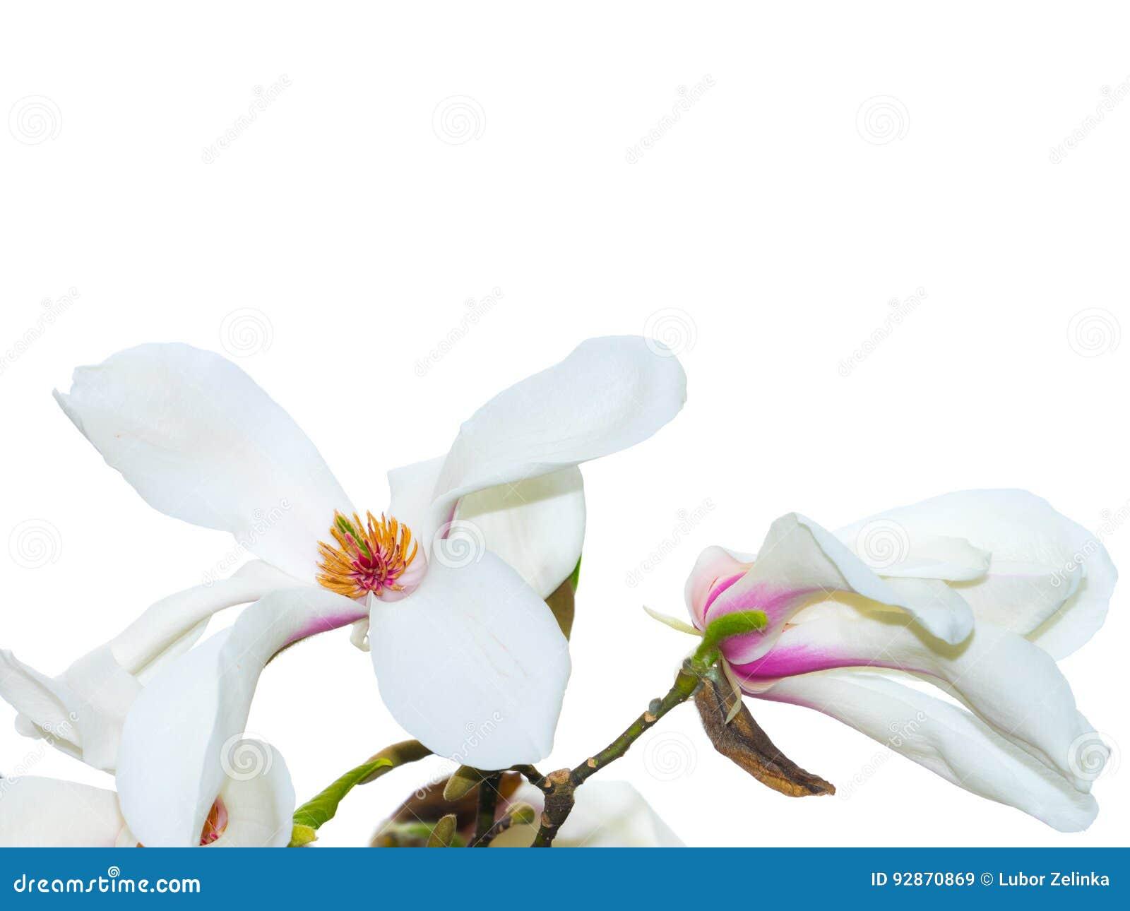 White Magnolia Flower With White Background Stock Image Image Of