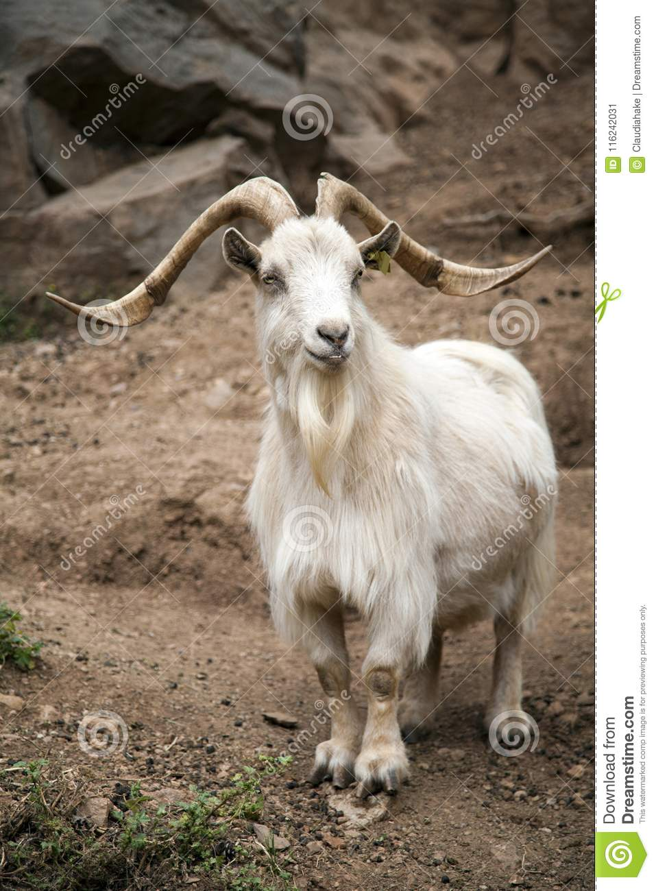 White Male Goat With Long Horns Stock Image - Image of white, goat ...