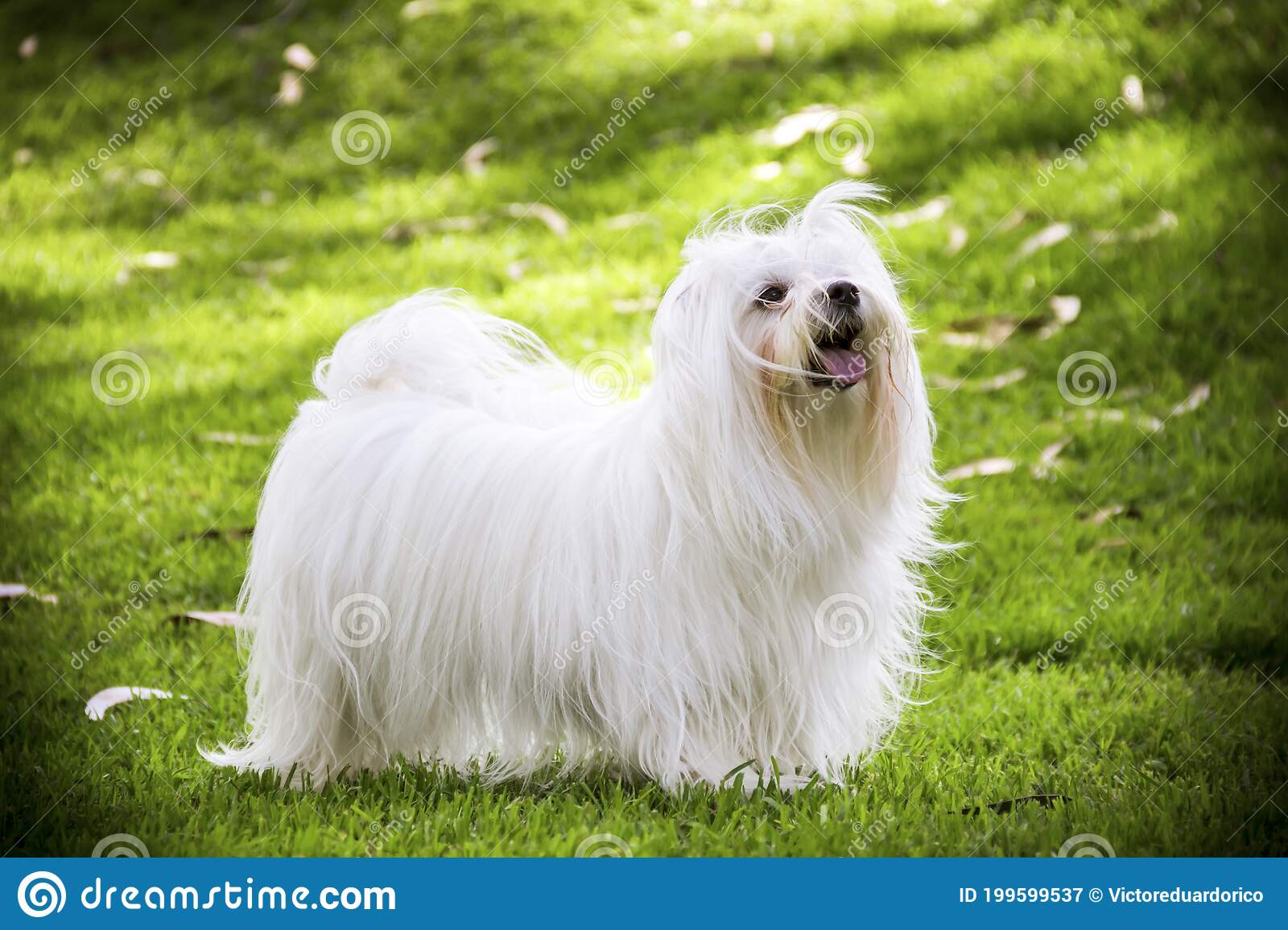 Maltese Shitzu Photos Free Royalty Free Stock Photos From Dreamstime