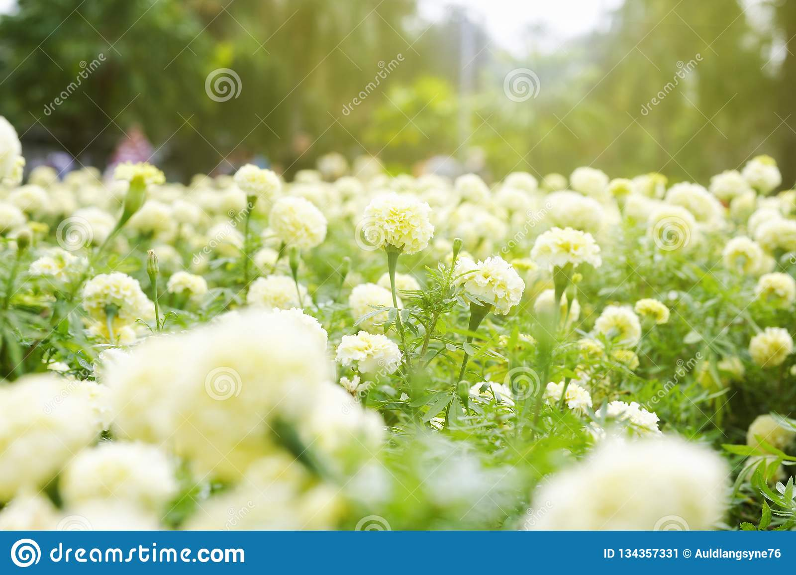 White Marigold Garden In Sunrise Stock Image Image Of Botany