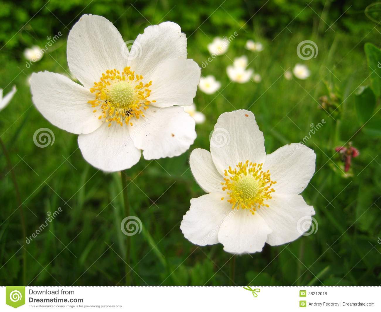 White meadow flowers stock photo image of close up 38212018 white meadow flowers mightylinksfo