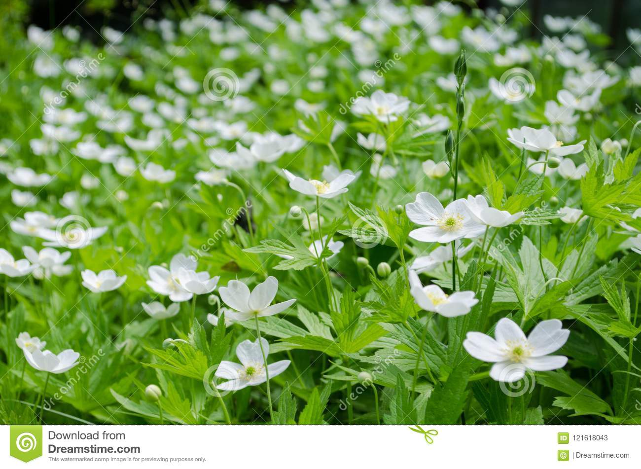 White meadow flowers stock image image of field garden 121618043 download white meadow flowers stock image image of field garden 121618043 mightylinksfo