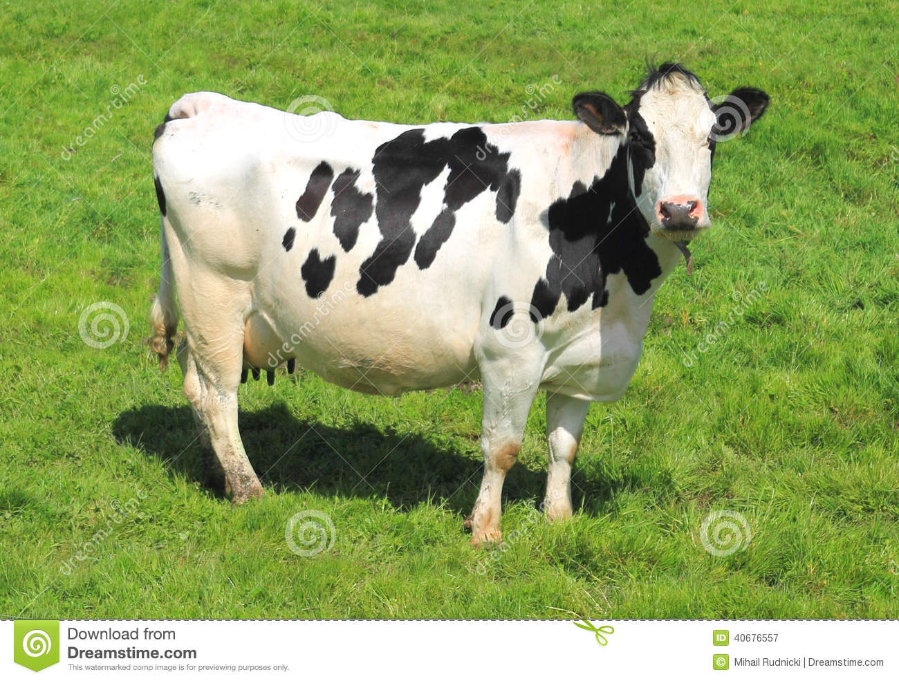 white milch cow with black spots stock image image of animal