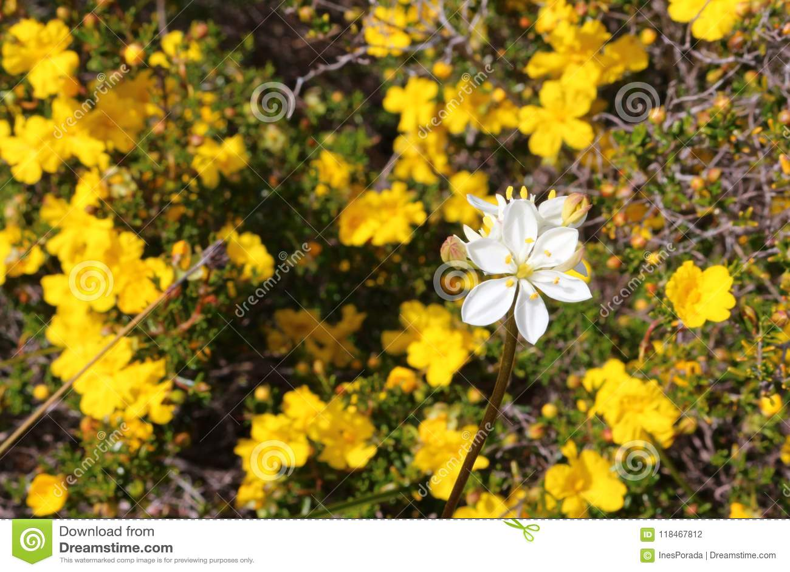 White Milkweed blossom on yellow Hibertia flowers background in bokeh- Australian wildflower texture background