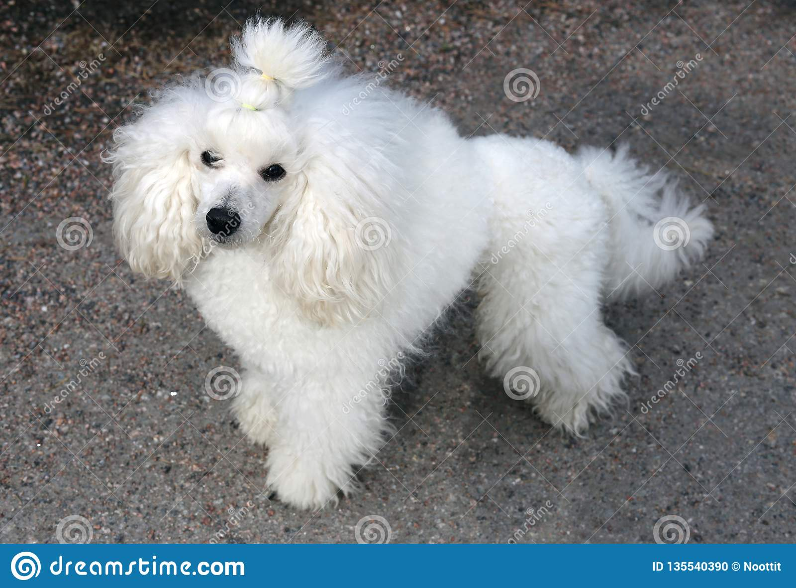 White Miniature Poodle In Forest Stock Photo - Image of