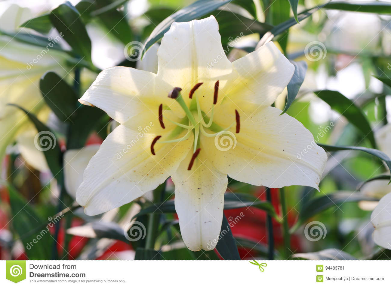 White mix yellow of lily flower are blooming stock image image of download white mix yellow of lily flower are blooming stock image image of winter mightylinksfo
