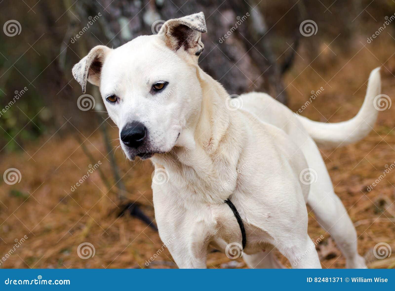 White Mixed Breed Dog Adoption Walton County Animal Control