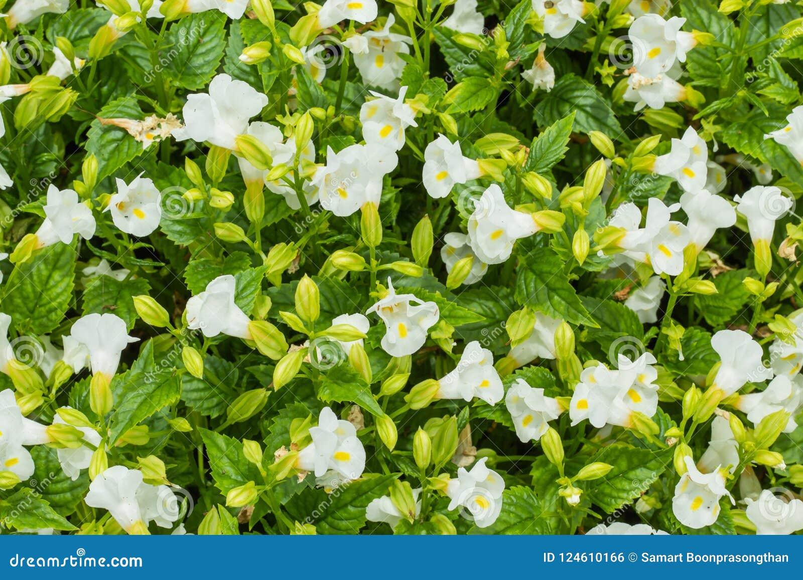 White Moon Torenia Flower in garden.