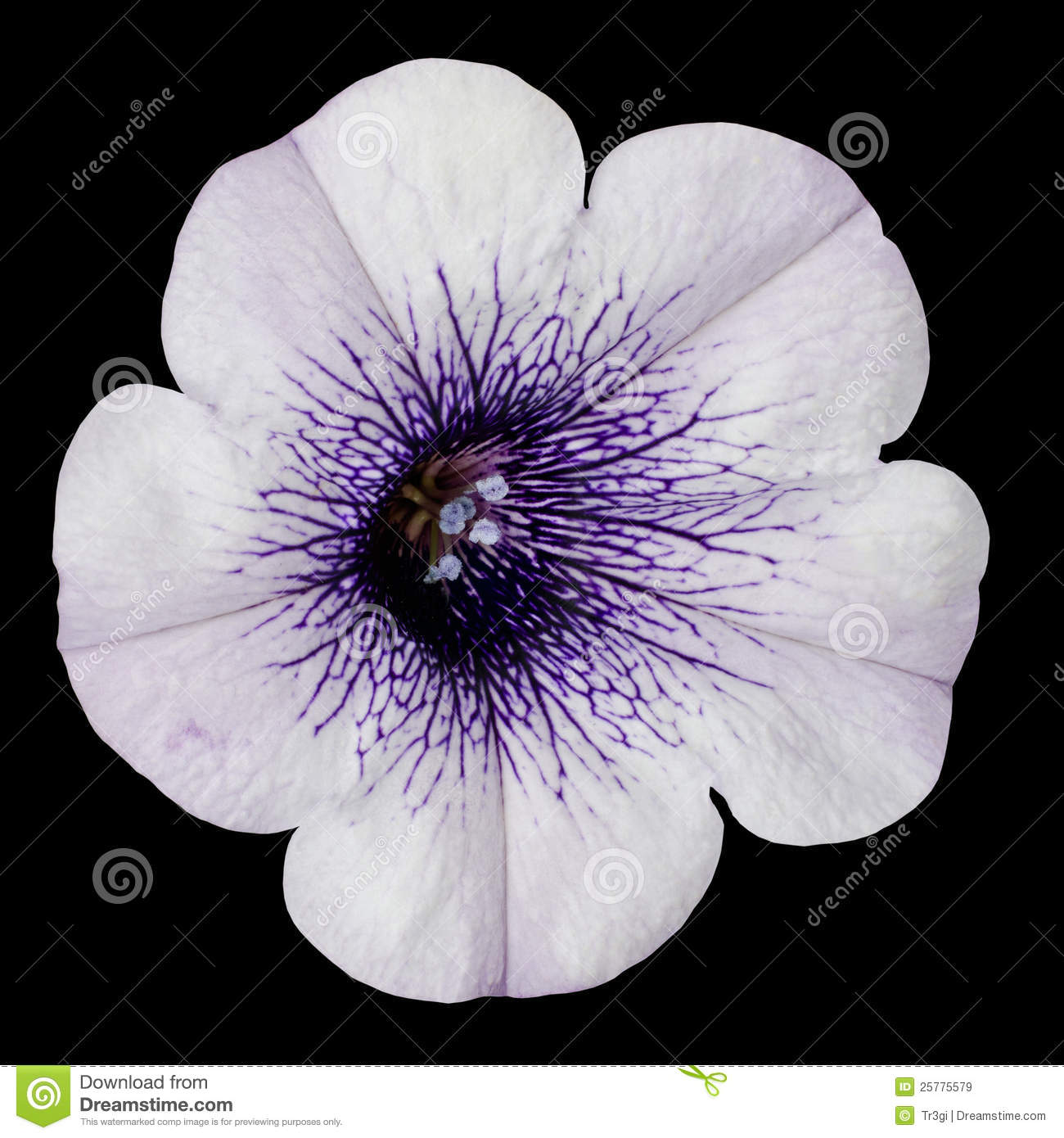 White morning glory flower with purple center stock image image of white morning glory flower with purple center isolated on black background mightylinksfo