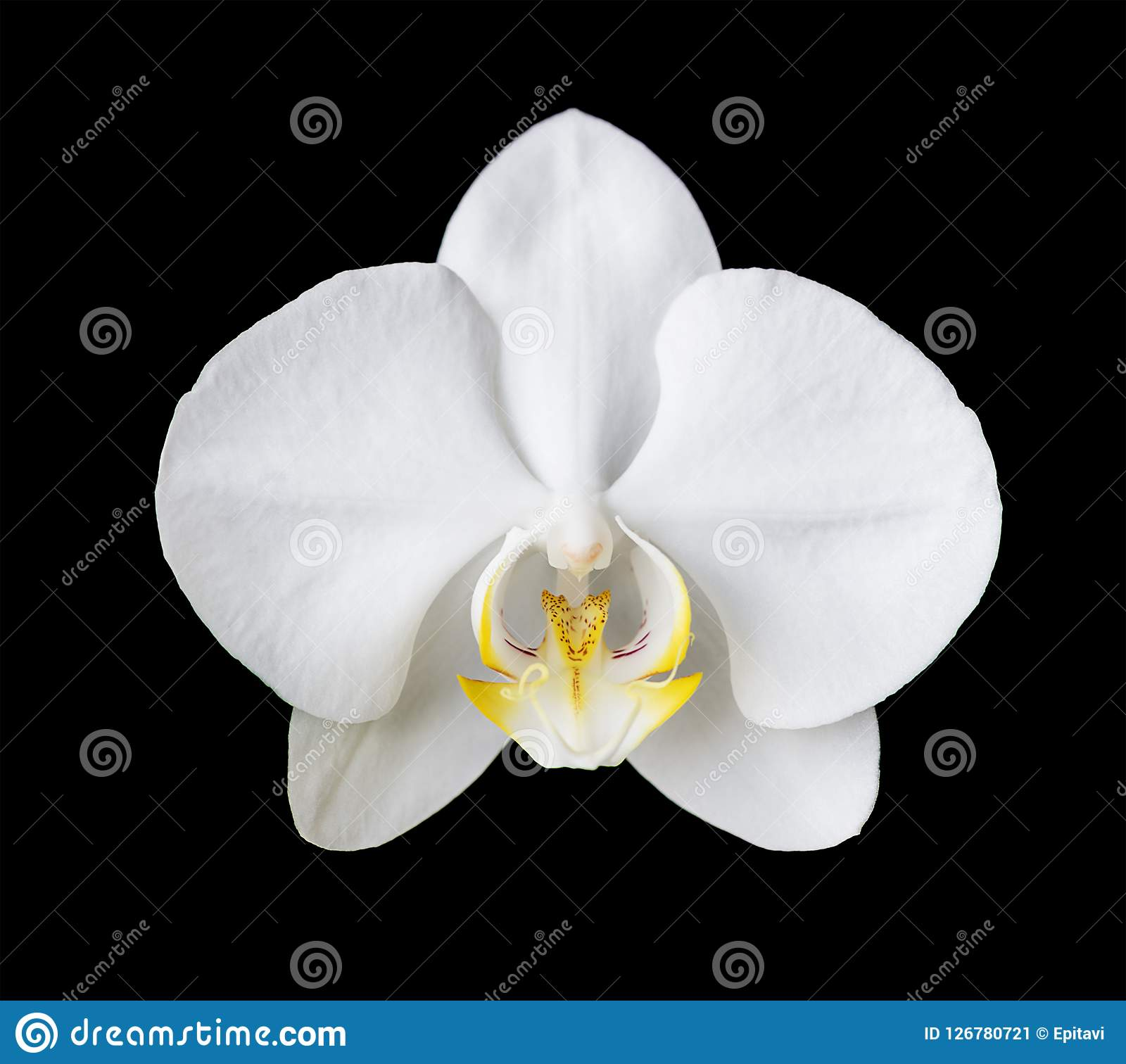 White Moth Orchid On Black Stock Image Image Of Bloom 126780721