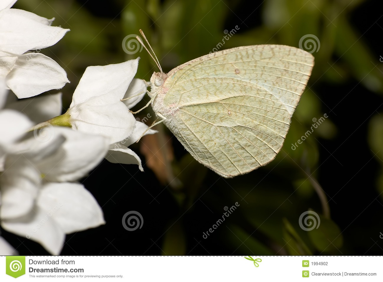 White Moth On White Flower Stock Photo Image Of Single 1994902