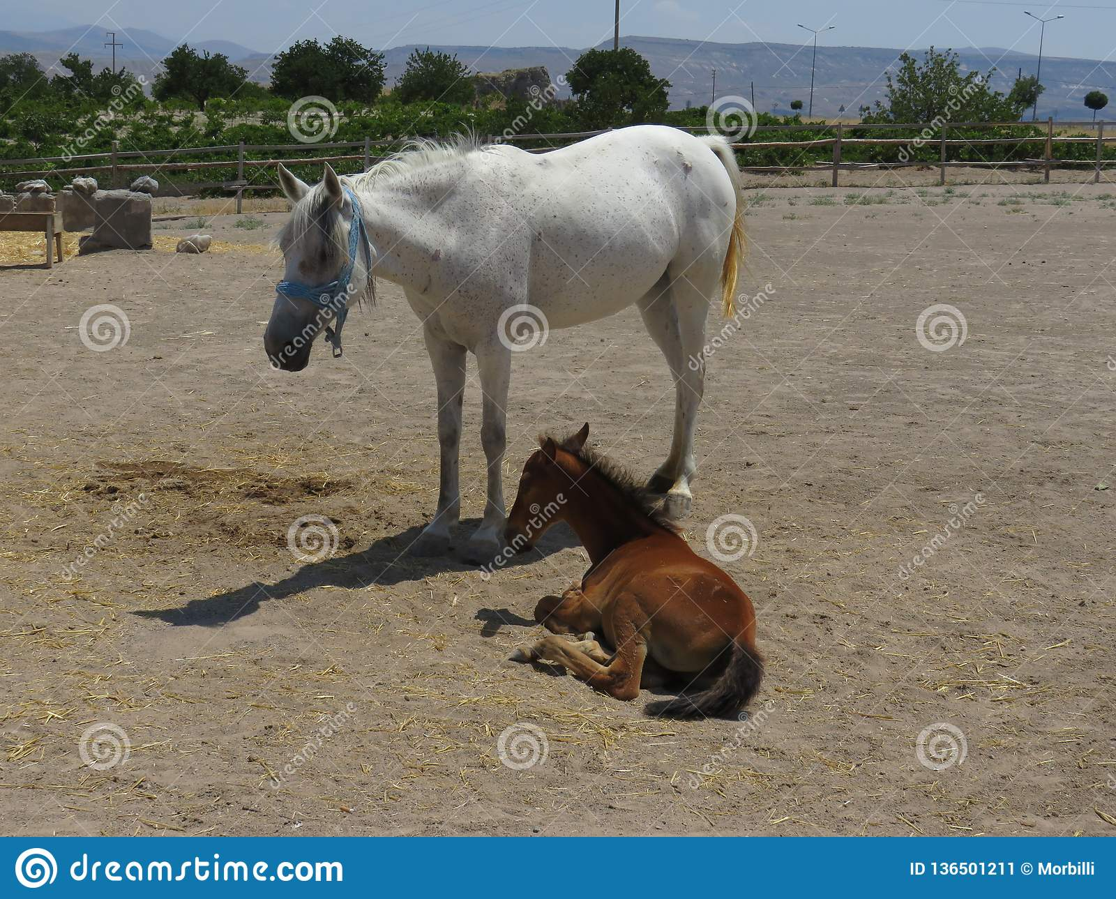 White Mother Horse And Brown Baby Foal Stock Image Image Of Brown Mother 136501211