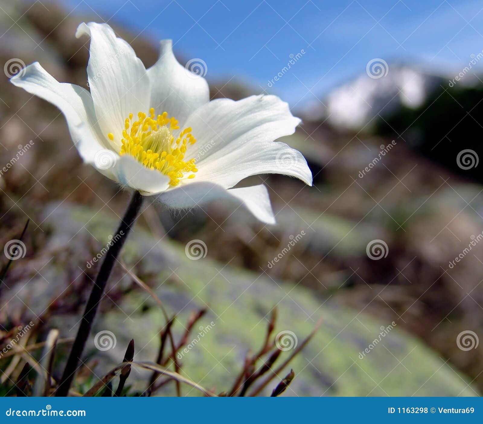 White Mountain Flower Stock Photo Image Of Gift Mountain 1163298