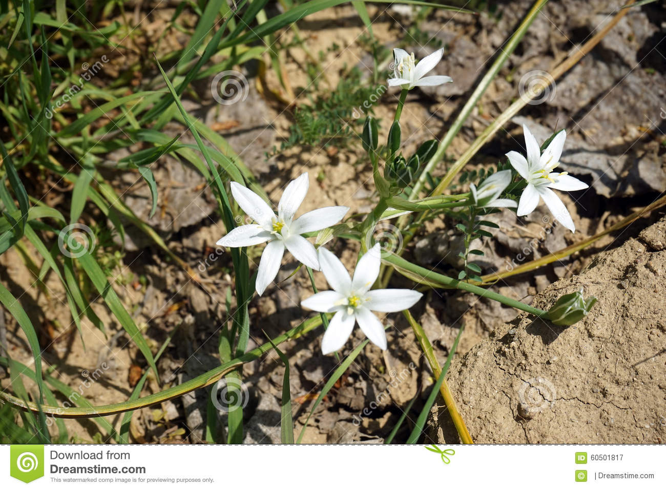 White mountain flower stock image image of flower mountain 60501817 white mountain flower mightylinksfo