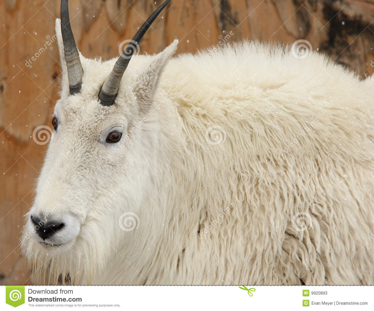White Mountain Goat In The Snow Stock Image Image Of
