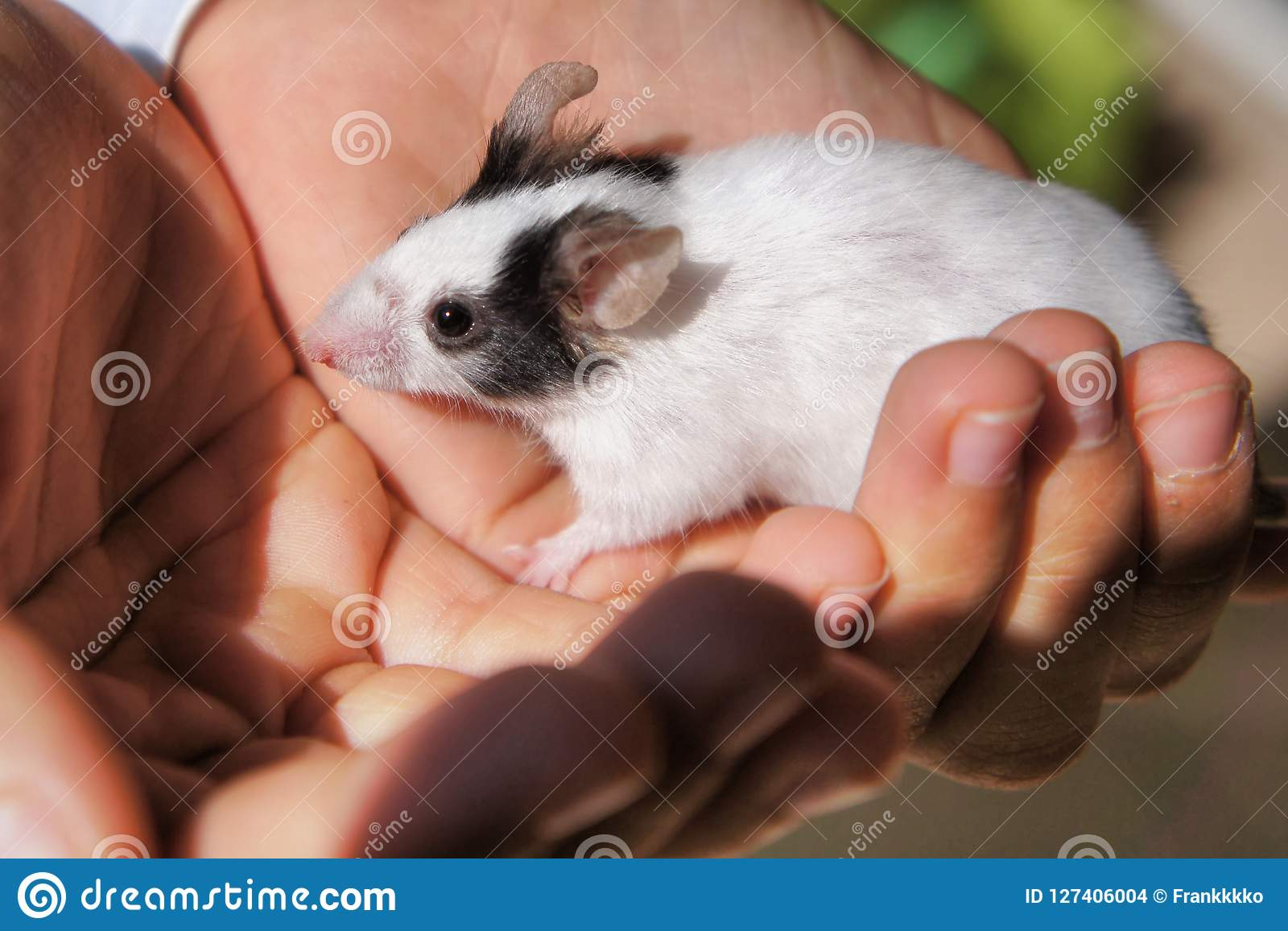 White mouse held in kid`s hands