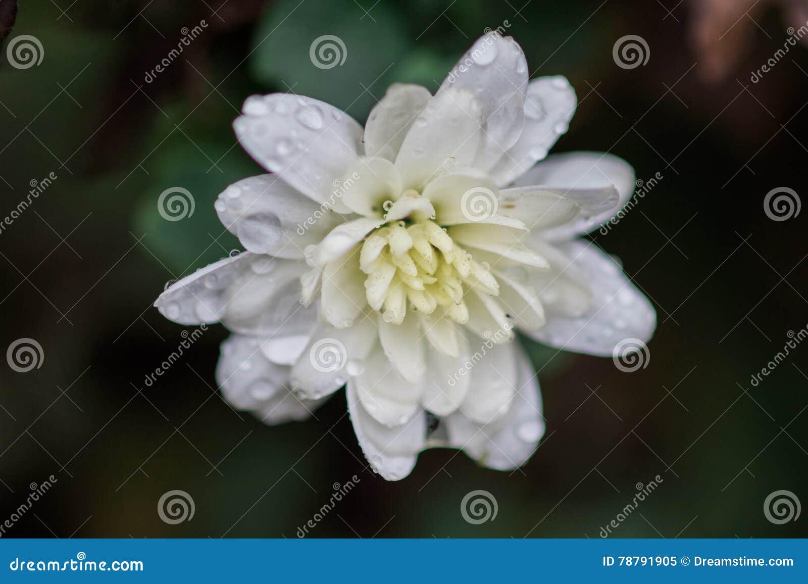 White Mum Stock Image Image Of Mums Annual Gardening 78791905