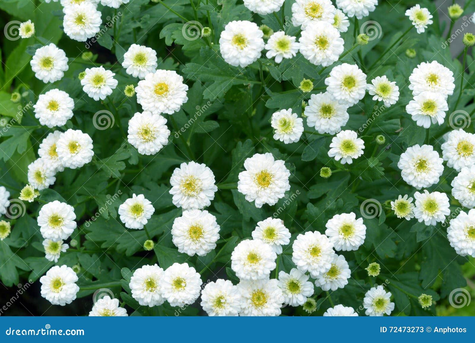White Mum Flower Stock Image Image Of Beauty Petal 72473273