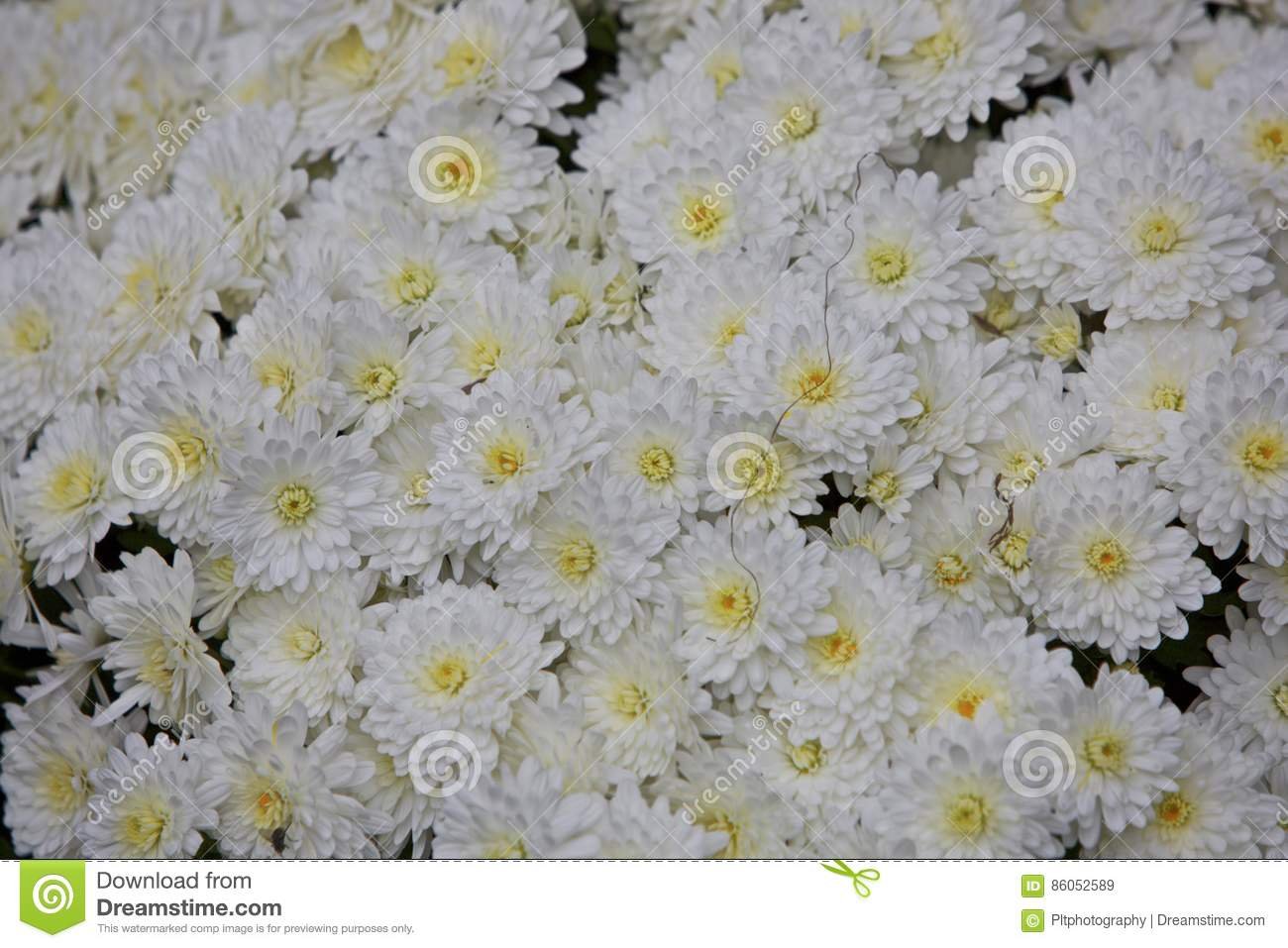 White mums stock image image of asteraceae team flower 86052589 download white mums stock image image of asteraceae team flower 86052589 mightylinksfo