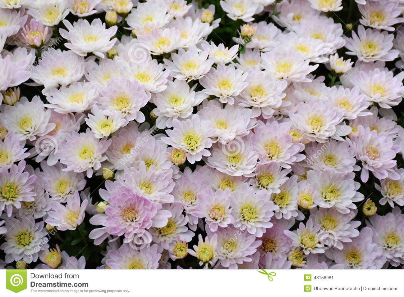 White mums flower chrysanthemum stock image image of decoration white mums flower chrysanthemum mightylinksfo