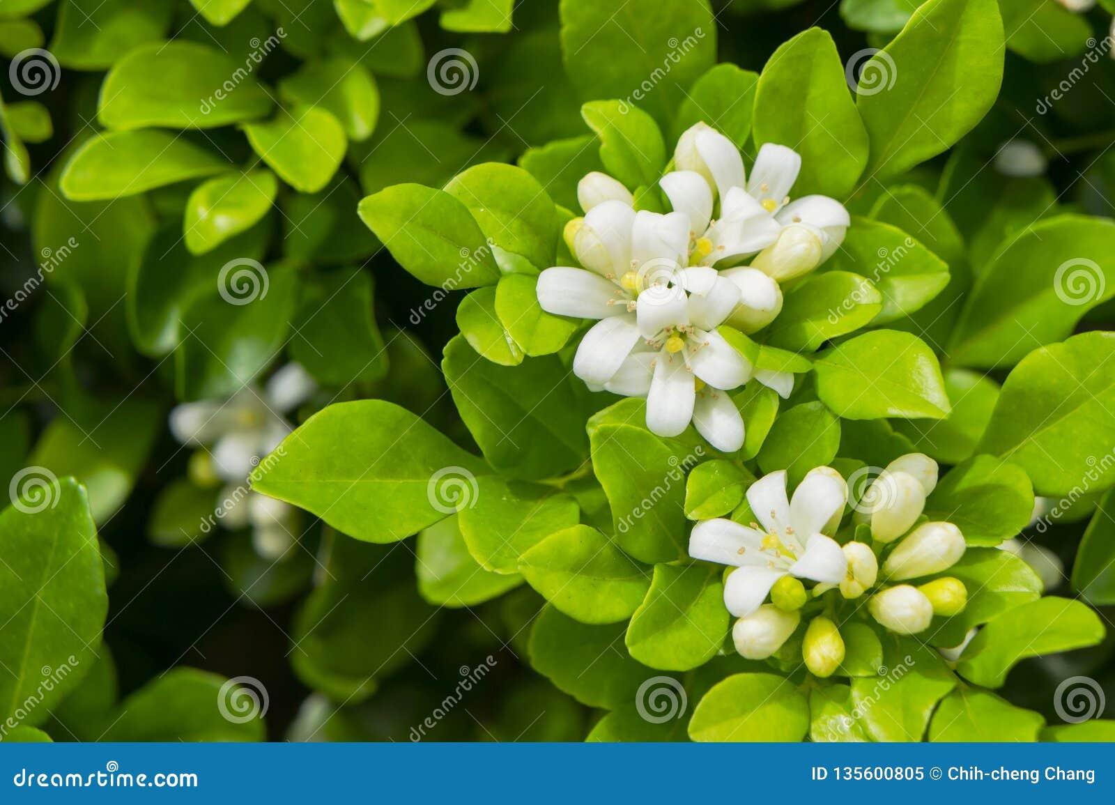 The White Murraya Paniculata Flower Stock Image Image Of Beautiful Jasmine 135600805