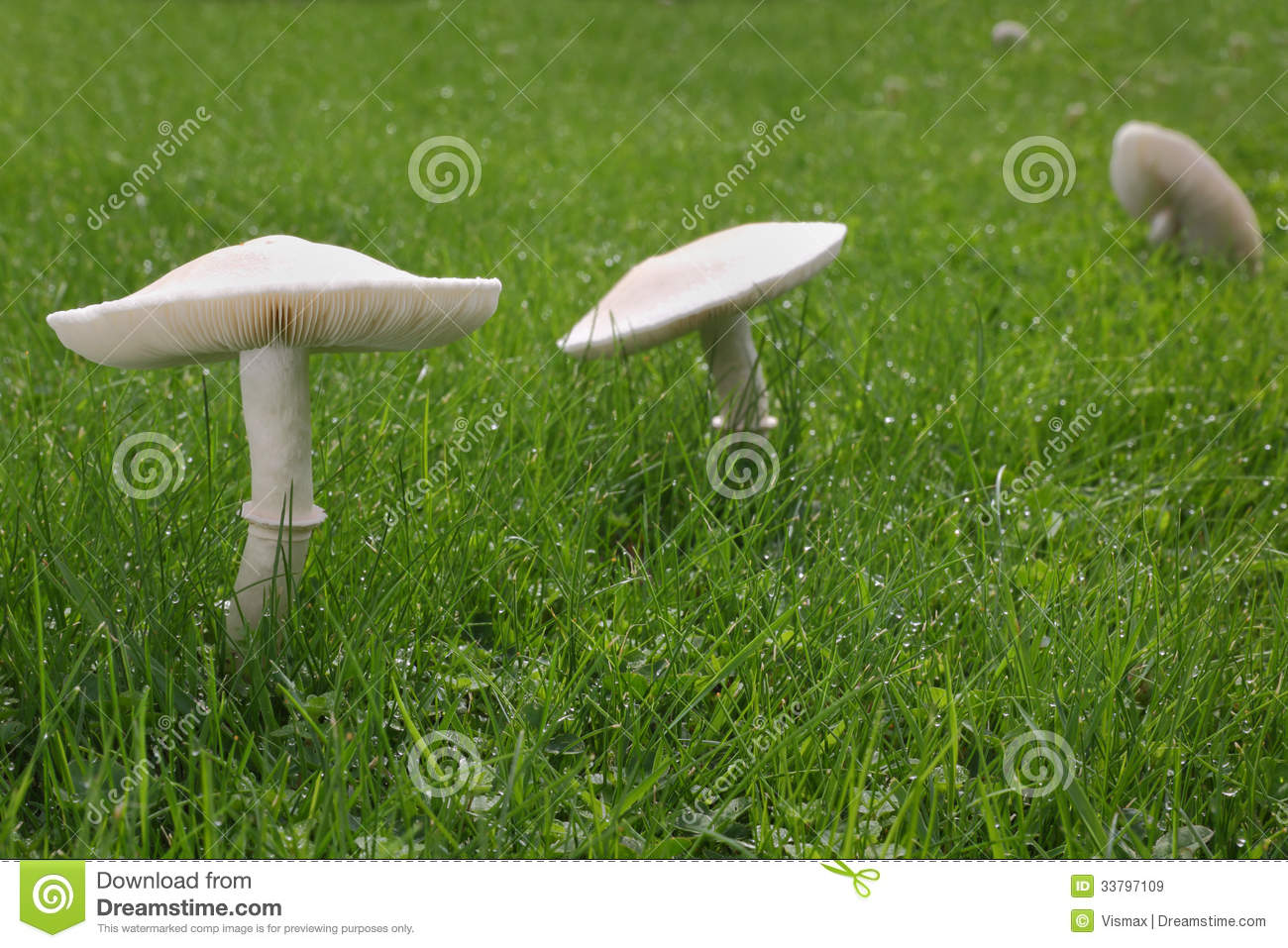 white mushrooms on lawn royalty free stock images image. Black Bedroom Furniture Sets. Home Design Ideas