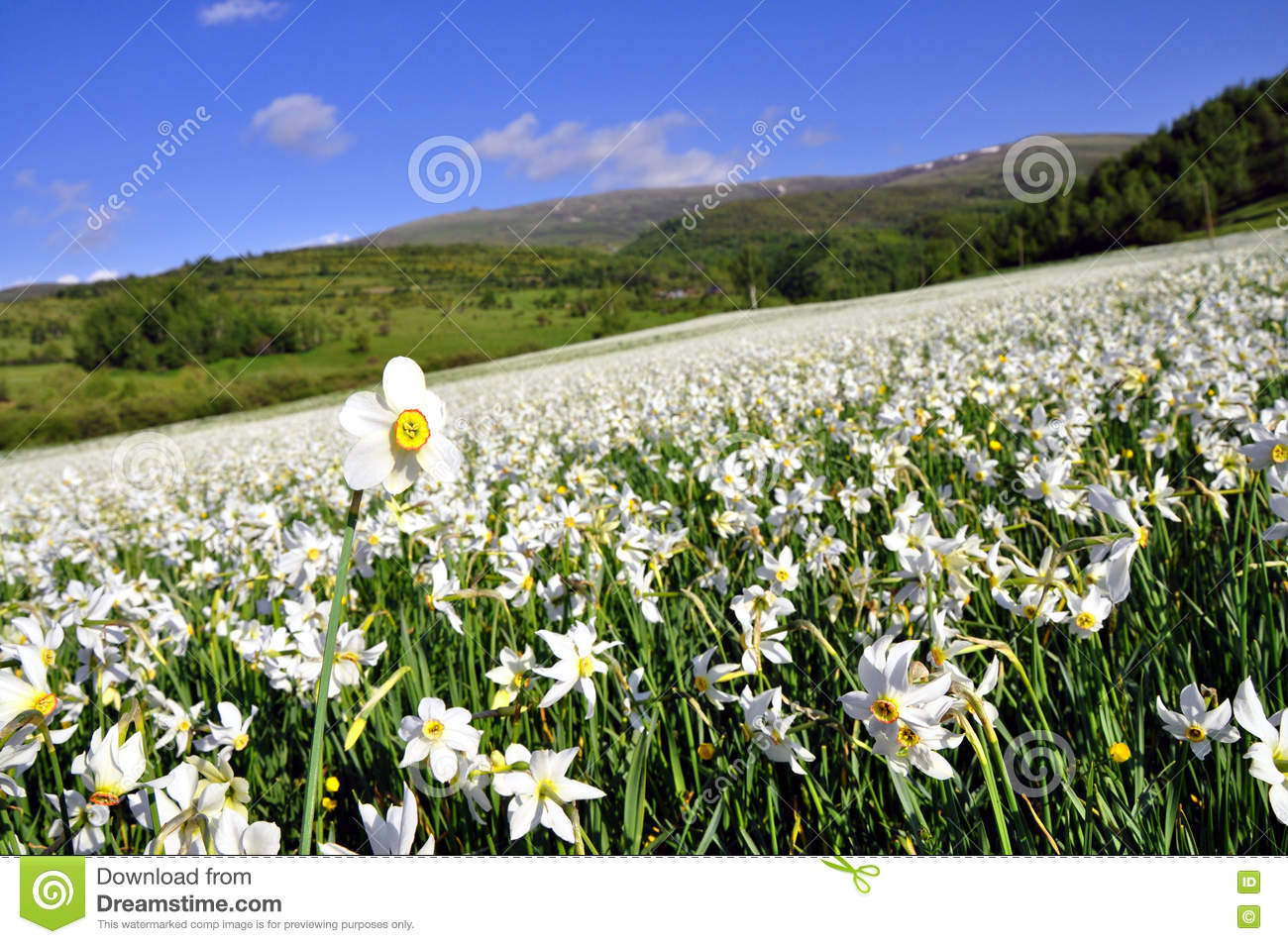White narcissus field, spring day.