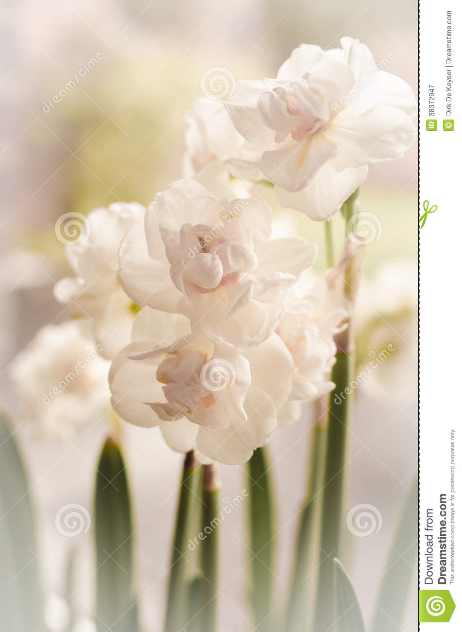 White narcissus and green spring
