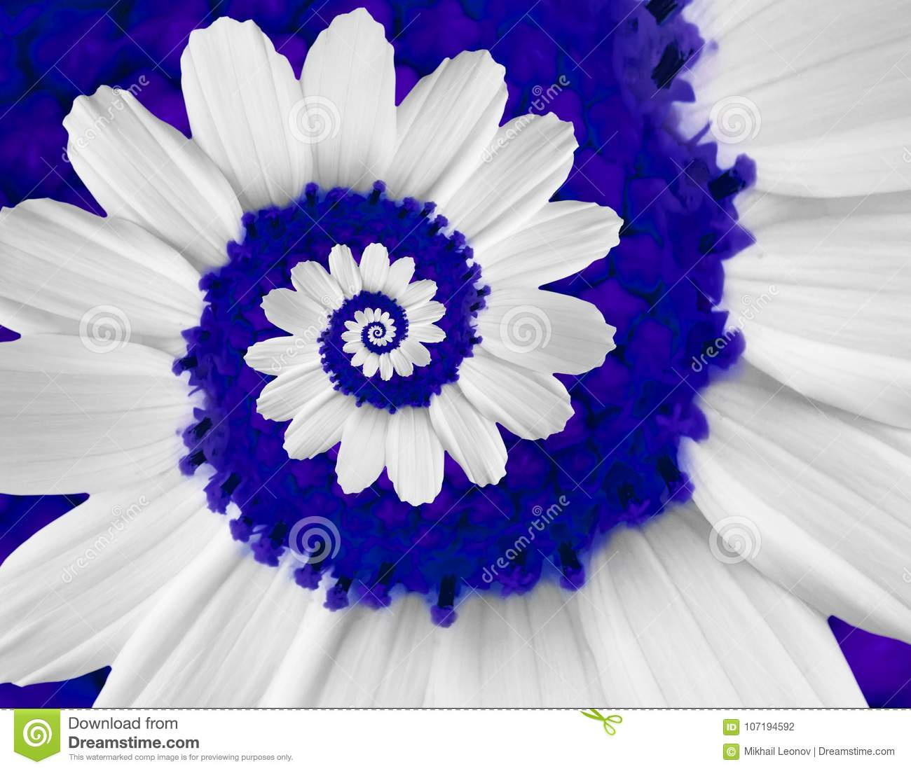 White navy camomile daisy cosmos kosmeya flower spiral abstract fractal effect pattern background White flower spiral abstract