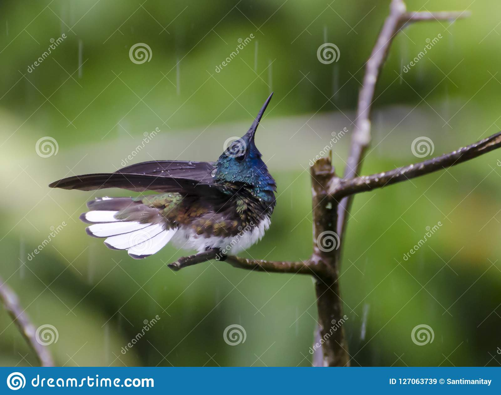 White-necked Jacobin Bathing In The Rain