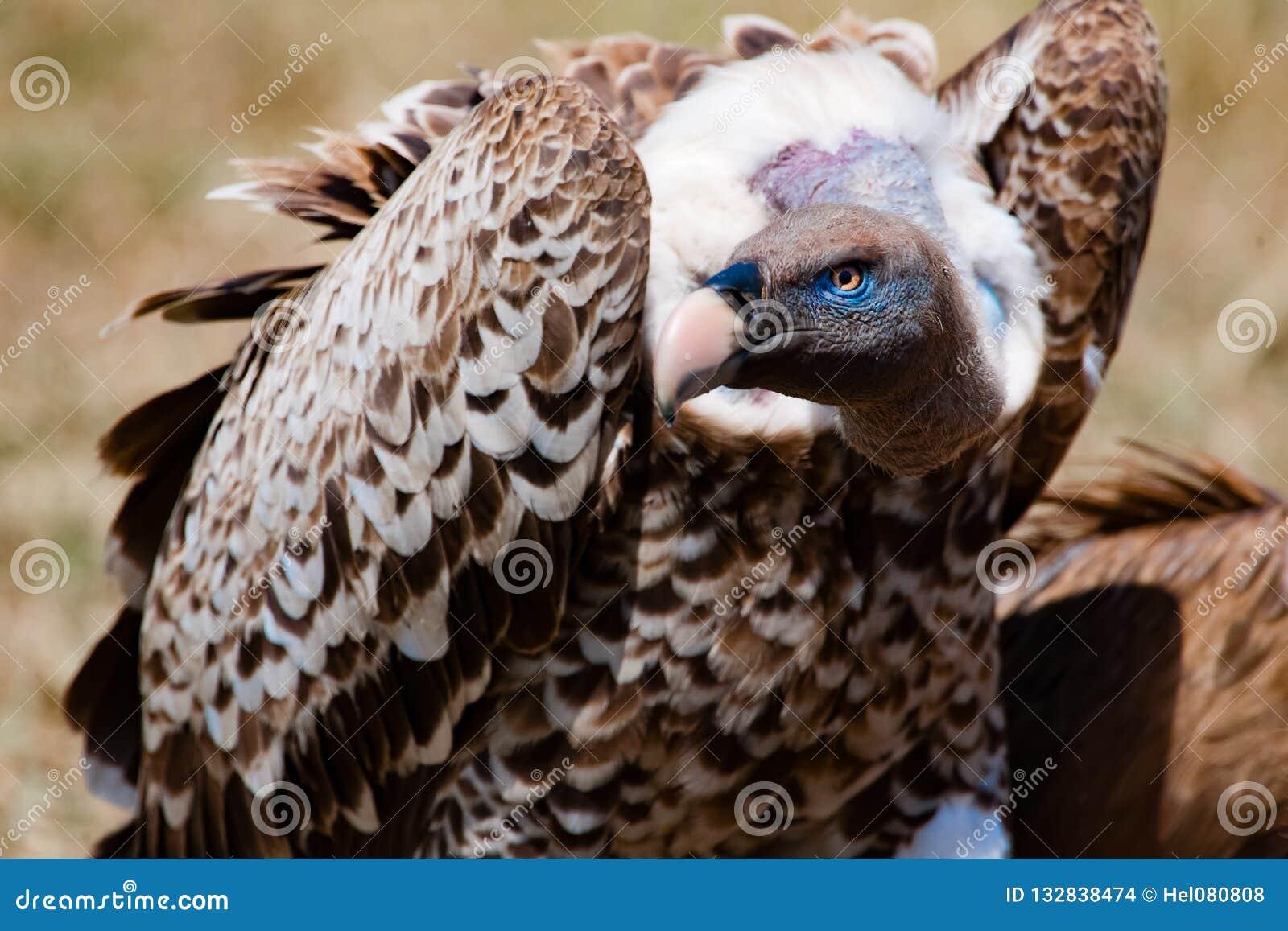 Vulture feeding on carcass in Serengeti, Tanzania, Africa