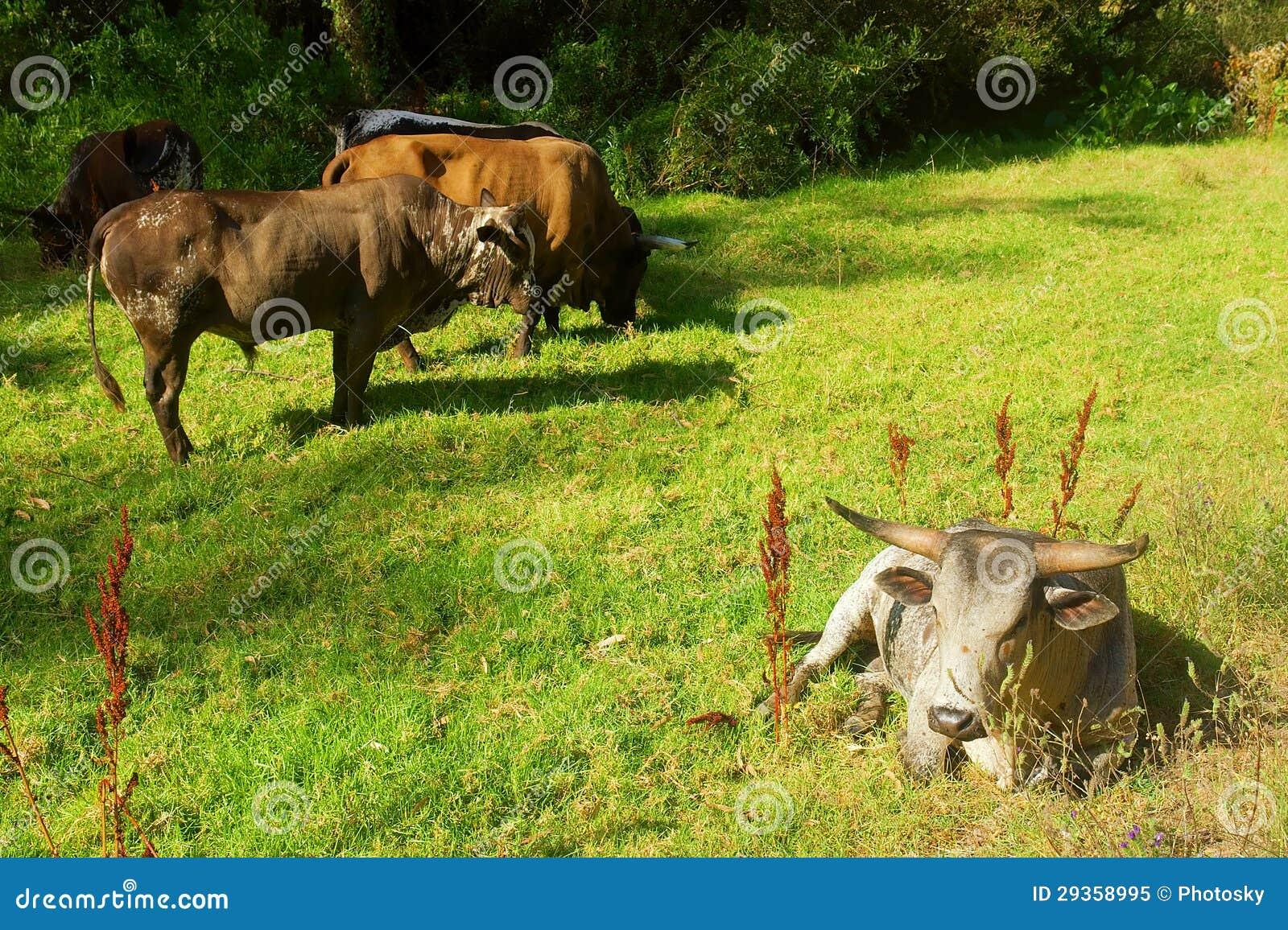 White Nguni bull lies on pasture